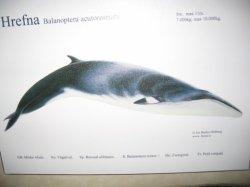 Hrefna-Balanoptera
