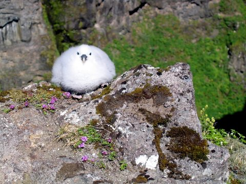 The baby fulmar on the cliff in Glymur canyon.